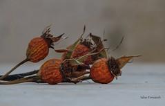 Autumn (StRo92) Tags: autumn rose old age nikon coolpix portrait