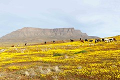 Cattle with a Mountain looking like Table Mountain in the background Tankwa Karoo (markdescande) Tags: africa wind dry natural cape nature dawn south background karoo road outside geology gannaga african sky environment valley stone path grass scenic landscape sunset tankwa twist rises fog eastern outdoor clouds arid desert dusk gravel sun blue ravine rock geological pass cloud sunrise mist wild park nobody misty national mountain