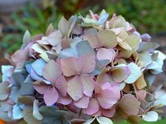 Fading Hydrangea - EXPLORE #125, 9-24-16 (Kazooze) Tags: flower flowerpot hydrangea pink blue beige nature garden pastel bokeh explore