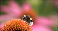 Macro (cees van gastel) Tags: ceesvangastel natuur nature gardenofbouvigne tuinvanbouvigne canoneos550d tamron70300mm hommels bloemen flowers insecten macro macromettussenringen extensionrings