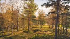 Autumn (JH') Tags: nikon nikond5300 nature d5300 sigma sweden wood trees tree fall field forest landscape autumn 1020 2016