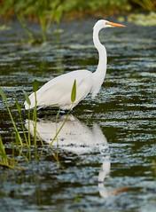 Aug 30 201610823 (Lake Worth) Tags: animal animals bird birdwatcher birds canonef500mmf4lisiiusm canoneos1dxmarkii everglades feathers florida nature outdoor southflorida waterbirds wetlands wildlife wing
