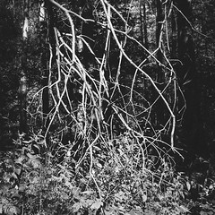 Tangle (ChrisDale) Tags: blidworth blidworthwoods bright chrisdale chrismdale evening forest golden green light nottingham nottinghamshire notts pine shadow silhouette summer trees wood woodland