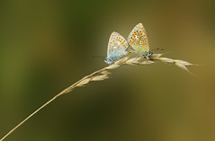 2 Blue's  (Nickerzzzzz - Thanks for stopping by :)) Tags: nickudy wildlife nature photograph outdoor lepidoptera antennae insect wing polyommatusicarus butterfly copulation uk commonblue   male