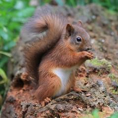 Red Squirrel (Bathgate Wildlife) Tags: mammal red squirrel fife morton lochs sciurus vulgaris
