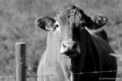"""Don't fence me in.""  B&W (Trevdog67) Tags: cow farm country stilesville thegorge moncton newbrunswick nouveaubrunswick canada vache bw bn blackandwhite blancetnoir fence barbedwire field nikon d7100 sigma 150600mm 14x teleconverter contemporary"