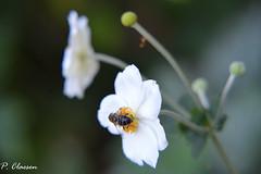 White Flower and a Bee (pclaesen) Tags: bee bees bij whiteflower witte bloem nature natuur gardening garden outdoor outdoors gardenshot natureshot macro macrophotography macroshot macroshots closeup efteling brabant nikon d3200 nikon55300mm hoya2 ngc