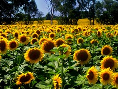 """Sunflower Fields Forever • <a style=""""font-size:0.8em;"""" href=""""http://www.flickr.com/photos/29084014@N02/7921243562/"""" target=""""_blank"""">View on Flickr</a>"""