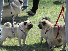 "In Budapest it was true ""pug love"" for these two pugs (Hazboy) Tags: dog chien pet cane la europa europe hungary budapest pug canine hond perro hund kutya ungarn buda pest ungheria magyarország hungría hongarije hongrie венгрия hazboy hazboy1 hazboyeuro"