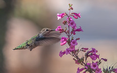 Calypte anna in Flora (Fort Photo) Tags: arizona flower bird nature phoenix flora nikon hummingbird feeding wildlife flight az ave penstemon hummer ornithology avian hovering hover bif calypteanna featheryfriday 2012a