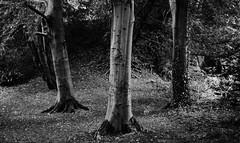 tree study (Jorden Sayer) Tags: trees bw white black film home 35mm newcastle grain olympus processing hp5 pushed 800 ilford jesmond 35rc dene
