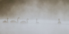 Swans on the Flash (markhortonphotography) Tags: 100400l 7d ashvale basingstokecanal canal canon early eos7d family greatbottomflash mist morning silhouette surrey surreyheath swan