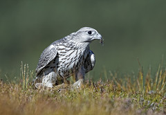 Gyrfalcon (David C Walker 1967) Tags: autumn nature scotland wildlife scottish birdofprey cairngorms cairngormsnationalpark gyrfalcon specanimal
