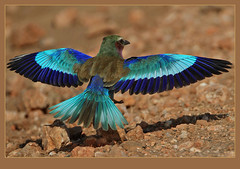 A myriad of blues! (Rainbirder) Tags: lilacbreastedroller tsavowest coraciascaudatus rainbirder