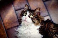 Camilla's Eyes (clo dallas) Tags: cats canon eyes feline occhi felini camilla gatti gatta clodallas