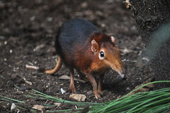 Black and Rufous Elephant Shrew (Truus & Zoo) Tags: netherlands animals zoo rotterdam blijdorp nederland vulnerable dierentuin blackandrufouselephantshrew rhynchocyonpetersi steppeslurfhondje