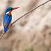 Malachite kingfisher - Rufiji River - Selous - Tanzania