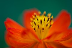IMG_5470 (Zengame) Tags: flower macro canon eos tokyo 100mm 5d   cosmos