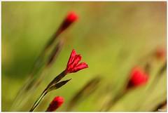 rode bloempjes (20D29952) (Hetwie) Tags: flowers nature landscape natuur bloemen landschap noordbrabant strabrechtseheide