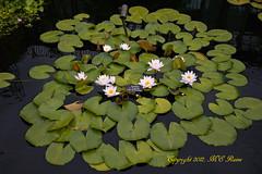 Waterlily, Day Flowering (Hardy) at Longwood Gardens PA (takegoro) Tags: flower nature gardens waterlily dupont longwoodgardens kennettsquarepa
