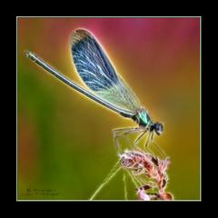 Caloptryx clatant (Calopteryx splendens) (InfoTek) Tags: abstract macro fauna insect ed dragonfly olympus zuiko insecte libellule abstrait faune e510 raynoxdcr250 fractalius macroinsectes mygearandme