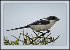 Common Fiscal (Lanius collaris) (Rainbirder) Tags: nairobinationalpark commonfiscal laniuscollaris rainbirder