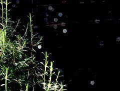 (malidinapoli) Tags: autumn home rain zuhause herbst rosemary thuis regen vijfhoek rosmarin rosmarino rozemarijn zeitlupe gedankengestber