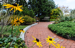 Gloriosa Path (Shutterscript) Tags: city autumn trees usa flower brick fall nature boston bench ma path walkway daisy gloriosadaisy harborwalk