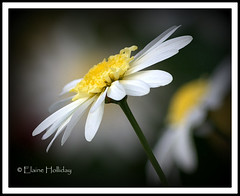 daisy 2 (loobyloo55) Tags: white flower yellow canon flora daisy floraandfauna canoneos400d