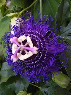 Passiflora 'Inspiration'