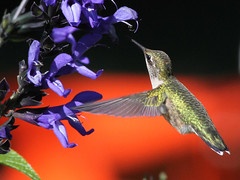 Ruby-throated Hummingbird (naturelover2007) Tags: bird hummingbird flight magicmoments rubythroated birdwatcher faunainmotion naturelover2007