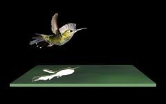 Finally Free (ClaraDon) Tags: photoshop costarica hummingbird hummer oob mikebaird bosquedepaz 08may2012 08may2012costarica