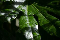 japanese aralia (focallocus) Tags: uk green english nature garden ian photo leaf nikon greenisbeautiful availablelight country foliage greenery sooc d5100 focallocus