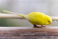 park yellow boston zoo franklin birdseed budgie parakeet railing