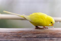 park yellow boston zoo franklin birdseed budgie parakeet railing