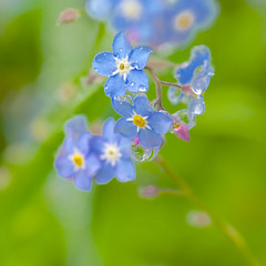 DSC_0293 (photoart33) Tags: flowers blue rain spring raindrops forgetmenot persephonesgarden