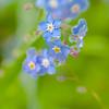 DSC_0293 (photoart33) Tags: flowers blue rain spring raindrops forgetmenot persephonesgarden