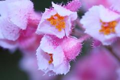 Pink beauty ( Spice (^_^)) Tags: pink plant flower macro bokeh petal   bulaklak halaman
