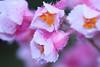 Pink beauty (♥ Spice (^_^)) Tags: pink plant flower macro bokeh petal 花 植物 bulaklak halaman ピンク マクロ ボケ