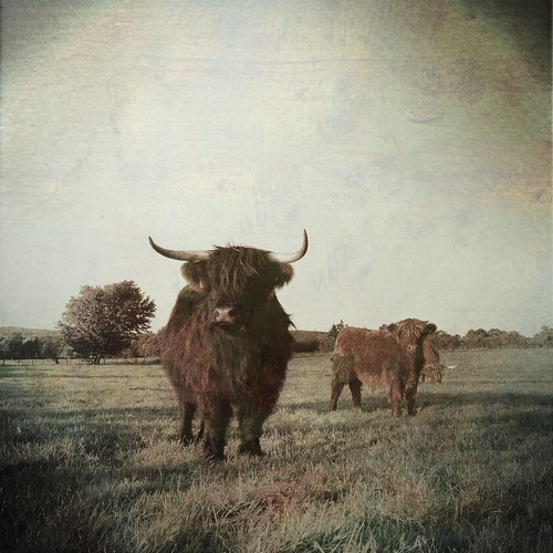 Beautiful Mother Nature - Scottish Highland Cattle