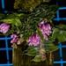 Dendrobium limpidum – Helge Weissig