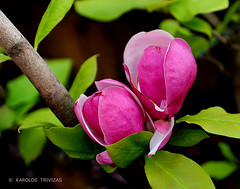 MAGNOLIA FLOWERS   (GREECE, ATTICA, DIONYSOS) (KAROLOS TRIVIZAS) Tags: pink red plant flower colour macro leaves closeup leaf petals flora greece magnolia bud attica dionysos angiosperm blinkagain