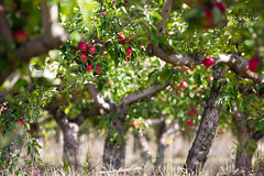 Apple trees (Felix Schmidt Photography) Tags: lighting autumn trees light shadow red food sun sunlight blur color detail tree green fall apple colors fruits closeup fruit composition canon germany photography eos freedom blurry focus photographer shadows dof angle bokeh pov background details ground eat l apples daytime fitness fit appletree healt 70200mm appletrees healthiness saxonyanhalt llens 60d hhnstedt