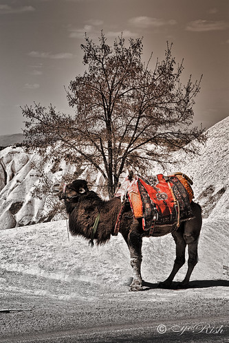 eyeRish-Turkey-Camel