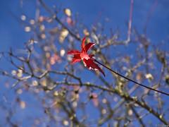 Simplicity of autumn (Tobbe_N) Tags: autumn red sky tree fall nature leaves leaf sweden olympus simplicity winner twig simple höst löv challengewinner friendlychallenges olympusxz1