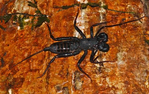 malaysia sabah kinabatangan hypoctonus taxonomy:genus=hypoctonus
