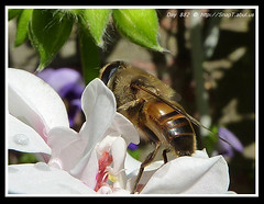 365 Day Photo Project Day 882: Now You See Me, Now You Don't (Riquochet) Tags: flowers wildlife insects hoverfly syrphidae hoverflies aposematic eristalistenax
