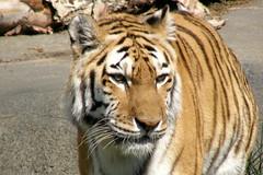 Brookfield Zoo (Tiger_Jack) Tags: animals zoo tiger bigcat tigers brookfield exoticcats bigcats zoos brookfieldzoo exoticcat itsazoooutthere zoosofnorthamerica flickrbigcats