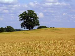 Countryside in Mecklenburg-Vorpommern (swetlanahasenjger) Tags: deuschland mecklenburgvorpommern ulrichshusen kornfeld baum himmel wolkenwelt coth coth5 platinumheartaward