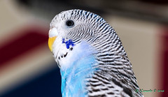 Beauty in the Eye of the Beholder (F. Camardo Photography 2016) Tags: budgie budgerigar